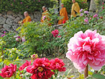 【長谷寺のぼたんと僧侶】シーズンは2月・4月~5月中旬