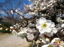 【2月限定企画】春は間もなく…可憐に咲く梅の花を愛でる★新鮮食材の二食付