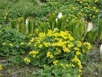 沼の原湿原に咲くりゅうきんか
