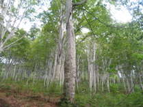 信越トレイルのブナ林