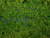 湿原に咲くカキツバタ、オオシラヒゲソウ
