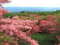 八幡のつつじ群生地。約20万本のつつじが咲き誇ります。