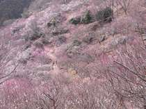 梅の宴【2月上旬~3月下旬】幕山公園にて、4,000本の梅の木が咲き誇ります。
