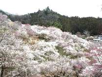 吉野梅郷の梅が咲き誇ります。おくたま路からチョッと散歩してみませんか?