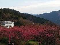 恋人岬の土肥桜並木から当館をのぞむ