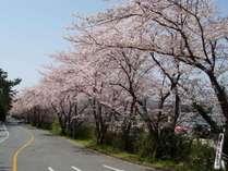 ホテル敷地内の桜並木