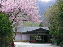 湯西川温泉の桜は、4月中旬から4月末頃にかけてが見頃です♪