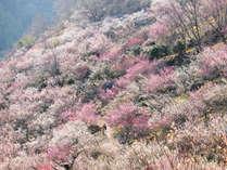 湯河原「梅の宴」あたり一面、梅の香りにつつまれます。