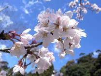 春には三朝川の川岸の桜並木も見頃です♪