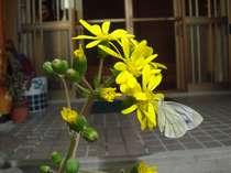 旅館の玄関前(つわぶきの花と蝶)