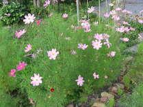 皆様お馴染みの「コスモス」です。コスモスは秋のお花ですがここでは7月から咲きます。