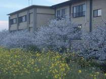 満開の桜、すべての客室から望めます。
