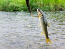 近くの円山川、大屋川清流には沢山天然の川魚が生息しています