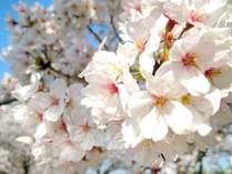 安土城跡の桜まで、車で15分♪さらに、琵琶湖と桜のコラボの彦根城は、車で40分です!