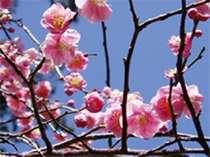 梅園の梅。梅祭り開催中です。