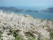 施設周辺に開花する2500本!もの桜。背景は海!見る者を圧倒する美しさを誇ります。