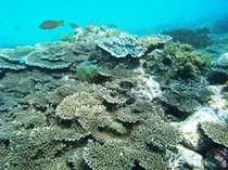牛深の海のサンゴは生き生きとしてとっても綺麗です。手が届くところにサンゴがいます