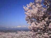 4月~5月にかけて、周辺の桜も見ごろとなります。