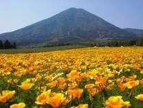 生駒高原カリフォリニアポピー