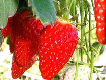 【完熟いちご狩り】真っ赤に甘く熟したイチゴ食べ放題♪宿泊プラン