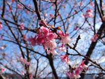 1月/日本一早い 寒桜・日南一号 日南寒咲一号は、JR日南線・北郷駅の線路沿いで観ることができます。