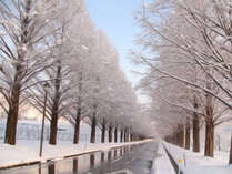 2.5kmにわたって広がる銀世界◇+゜幻想的な冬のメタセコイア並木