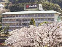和楽園そばにある温泉公園の見事な桜並木