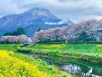 雪と菜の花と桜のコラボ