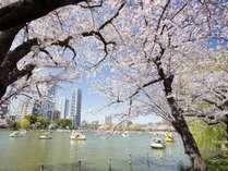 上野公園の桜
