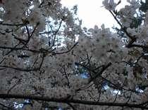 【奈良公園の桜】奈良公園までは当館より徒歩5分です♪