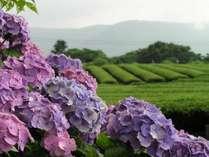 あじさいと茶畑(※例年6月中旬頃が見頃です)