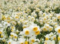 早春の爪木崎 香りの絶景みさき水仙 水仙まつり・アロエの花まつり送迎付き 冬の懐石プラン