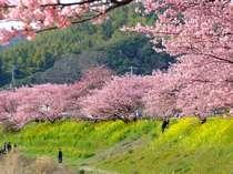 早春の2大桜祭り カワヅザクラ お花見送迎付きプラン