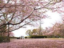 弊館裏の西浦園地、実は桜の隠れた名所です