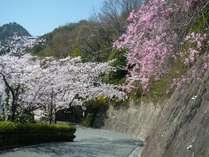 本館兆楽坂道桜