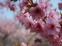 少し開花が遅い山中湖の桜・・・それも魅力