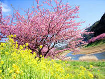 河津桜まつりは毎年2/10~3/10開催。早咲きの濃いピンクが特徴のかわいらし花が伊豆の春を彩ります♪
