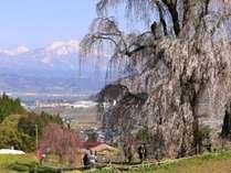 信州高山五大桜:中塩のしだれ桜