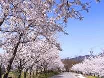 高山村は標高差が大きいので見頃は4月中旬から下旬と花見の期間が長いのが特徴。