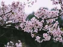 桜の季節がやってきました。