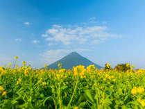 南国指宿では12月下旬から翌年2月上旬が菜の花の見頃です