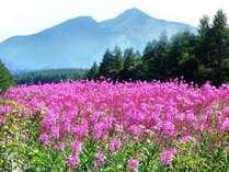 美しい色合いのヤナギランの群生(7月下旬~・ゴンドラ山頂駅近くフラワーガーデン)