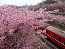 三浦海岸から三崎口までの京急沿線に咲き誇る河津桜(2015年3月撮影)