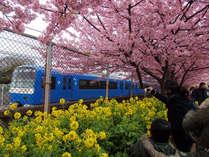 京急と菜の花との色の対比も美しい三浦海岸の河津桜(2015年3月撮影)