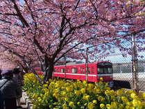 毎年2月から3月に咲き誇る三浦海岸の河津桜。当館は桜並木から一番近いホテルです!