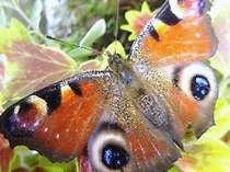 玄関の植え込みにいた素敵な蝶