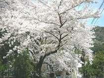 4月中旬★箱根湯元の桜★これは当館駐車場の桜です。