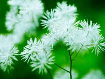 *春の白神山地/ブナ林散策道では、普段目にすることのない、多様な植物をご覧いただけます。