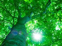*マザーツリー/ブナの平均寿命200年を超え、樹齢400年と想定される神聖な木は人気スポット。