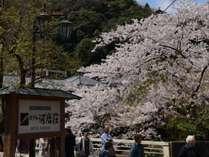 当館玄関前、湯本橋たもとの桜。見頃は4月頭です。
